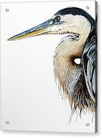Blue Heron Study Acrylic Print by Greg and Linda Halom