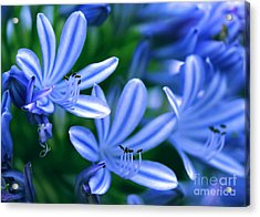 Blue Lily Of The Nile Acrylic Print by Sabrina L Ryan