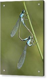 Blue-tailed Damselfly Acrylic Print by Adrian Bicker