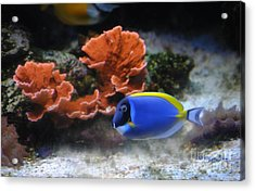 Blue Tang And Coral Acrylic Print by DiDi Higginbotham