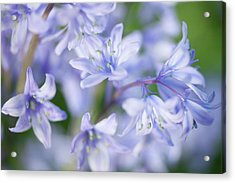 Bluebells Acrylic Print by Nick Dolding