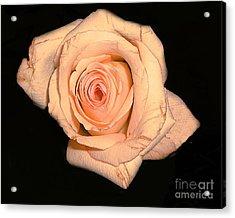 Blush Rose 2 Acrylic Print by Merton Allen