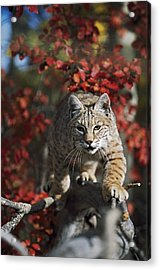 Bobcat Felis Rufus Walks Along Branch Acrylic Print by David Ponton