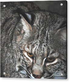 Bobcat Love Acrylic Print by DiDi Higginbotham