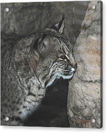 Bobcat Love II Acrylic Print by DiDi Higginbotham
