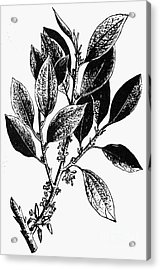 Botany: Coca Shrub Acrylic Print by Granger