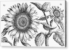 Botany: Sunflower Acrylic Print by Granger