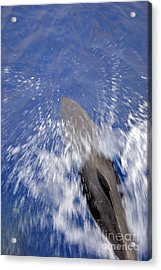 Bottle-nosed Dolphins  Acrylic Print by Sami Sarkis