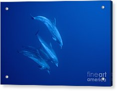 Bottle-nosed Dolphins Underwater Acrylic Print by Sami Sarkis