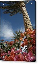 Bougainvillea Flowers Surround A Palm Acrylic Print by Richard Nowitz