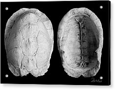 Box Turtle Shell Acrylic Print by Frederic A Reinecke