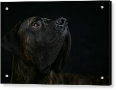 Boxer Dog Looking Up Acrylic Print by STasker