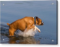 Boxer Playing In Water Acrylic Print by Stephanie McDowell
