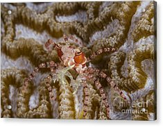 Boxing Crab In Raja Ampat, Indonesia Acrylic Print by Todd Winner