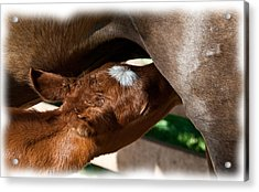 Brand New Colt..day Two Acrylic Print by Lisa Moore