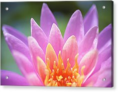 Bright Pink Water Lily Acrylic Print by Kicka Witte