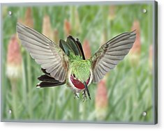 Broadtail Hummingbird Male And Red Hot Poker Acrylic Print by Gregory Scott