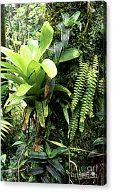 Bromeliad On Tree Trunk El Yunque National Forest Acrylic Print by Thomas R Fletcher