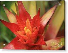 Bromeliad Acrylic Print by Sharon Mau