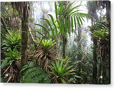 Bromeliads And Tree Ferns  Acrylic Print by Cyril Ruoso