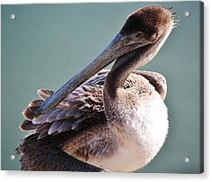 Browm Pelican Up Close Acrylic Print by Paulette Thomas