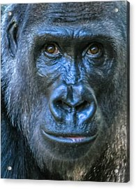 Brown Eyes Acrylic Print by Brian Stevens