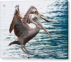 Brown Pelican . 7d8253 Acrylic Print by Wingsdomain Art and Photography