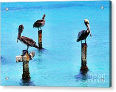 Brown Pelicans In Aruba Acrylic Print by Thomas R Fletcher