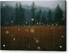 Browned Autumn Field Of Cotton Grass Acrylic Print by Raymond Gehman