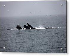 Bubble Netting Whales In Alaska Acrylic Print by Gary Gunderson