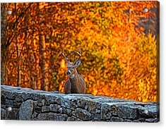 Buck Digital Painting - 01 Acrylic Print by Metro DC Photography