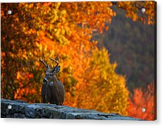 Buck In The Fall 02 Acrylic Print by Metro DC Photography