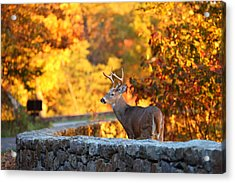 Buck In The Fall 09 Acrylic Print by Metro DC Photography