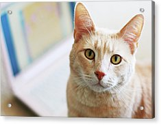 Buff Cat At Computer Acrylic Print by Image(s) by Sara Lynn Paige