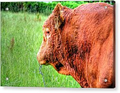 Bull Acrylic Print by Barry R Jones Jr