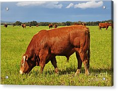 Bull In The Pasture Acrylic Print by Armando Carlos Ferreira Palhau
