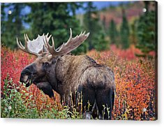 Bull Moose In The Fall Colors Acrylic Print by Thomas Payer