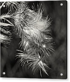 Bull Thistle Monochrome Acrylic Print by Steve Harrington