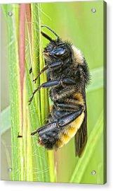 Bumblebee Acrylic Print by Bonnie Barry