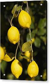 Bunch Of Lemons On Lemon Tree. Acrylic Print by Ken Welsh