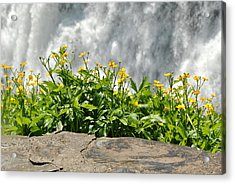 Buttercup With Waterfalls Acrylic Print by Wayne Sheeler