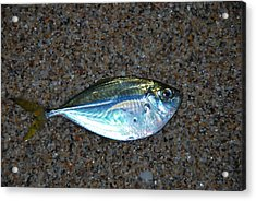 Butterfish On Beach Sand Acrylic Print by Ken  Collette