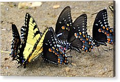 Butterflies By The Buches Acrylic Print by Marty Koch