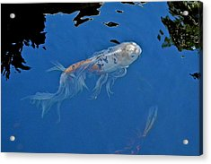 Butterfly Koi In Blue Sky Reflection Acrylic Print by Kirsten Giving
