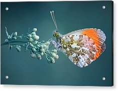 Butterfly On Blue Background Acrylic Print by GilG Photographie