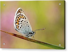 Butterfly Acrylic Print by Stefady