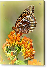 Butterfly Weed 1 Acrylic Print by Marty Koch