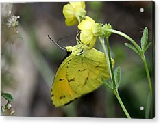 Butterfly - Yellow Sulphur On Yellow Acrylic Print by Travis Truelove