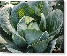 Cabbage In The Vegetable Garden Acrylic Print by Carol Groenen