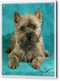 Cairn Terrier Pup Acrylic Print by Maxine Bochnia